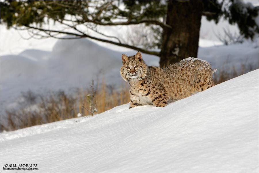 Bobcat-01