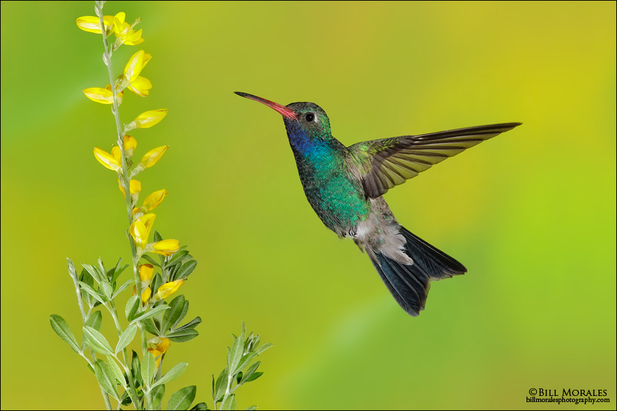 Broad-billed-Hummingbird-01