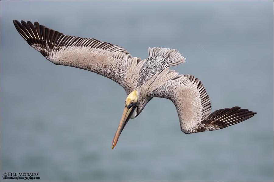 Brown-Pelican-01