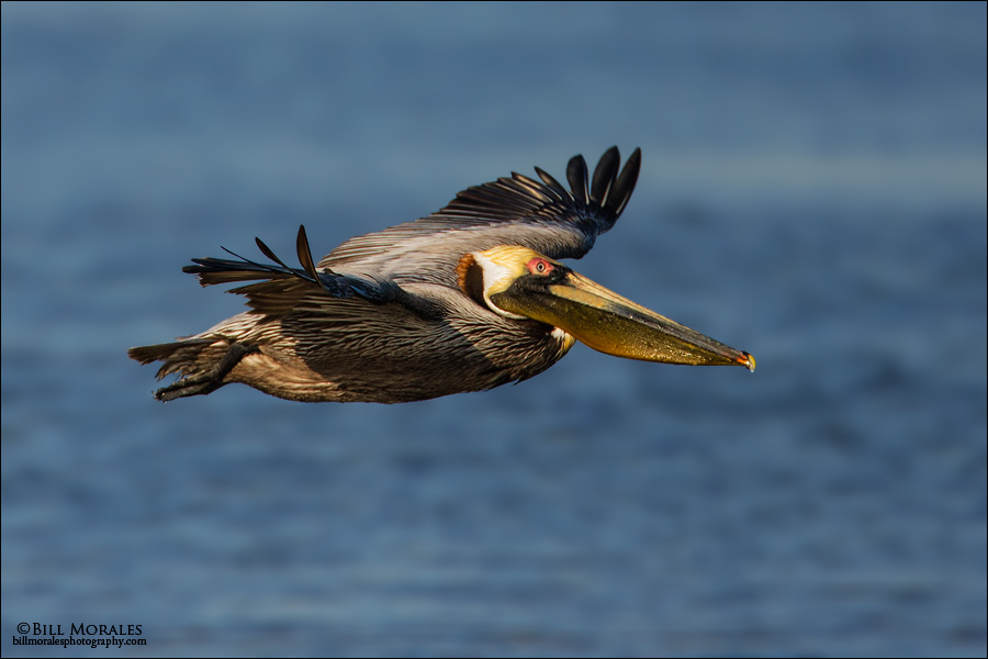 Brown-Pelican-02