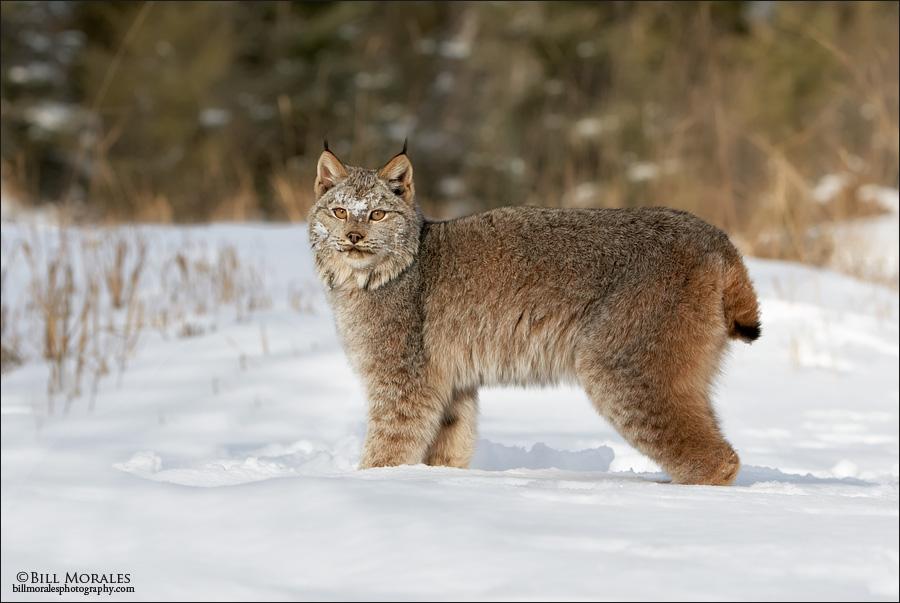 Canadian-Lynx-01