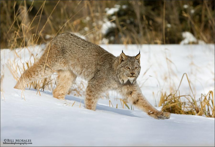 Canadian-Lynx-02
