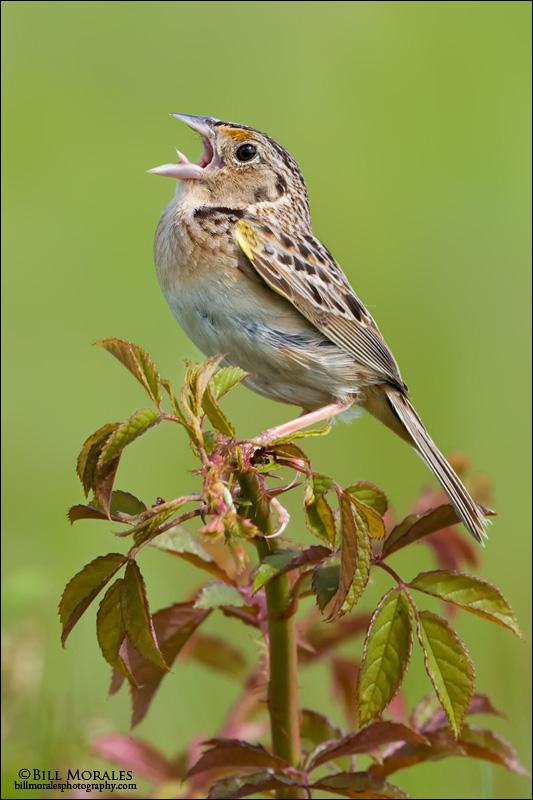 Grasshopper-Sparrow-02