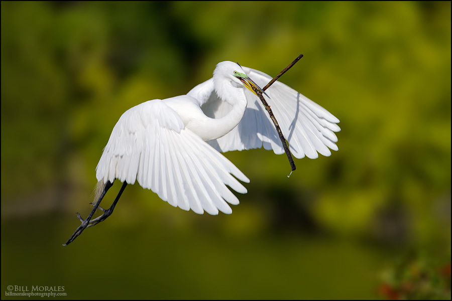 Great-Egret-02