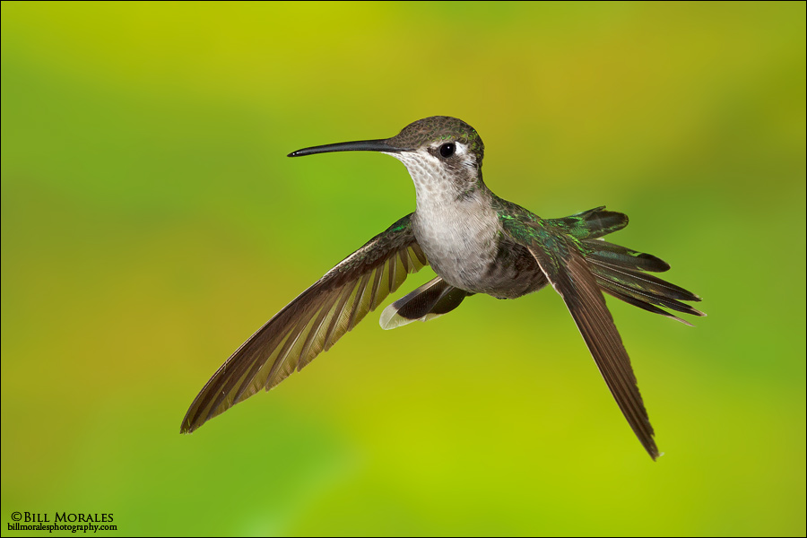 Magnificent-Hummingbird-01