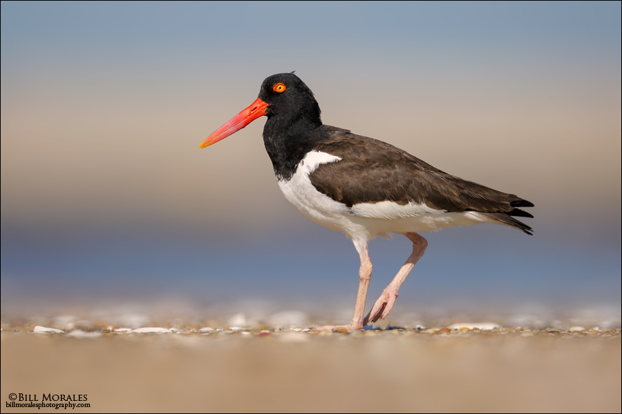 Oyster-Catcher-01