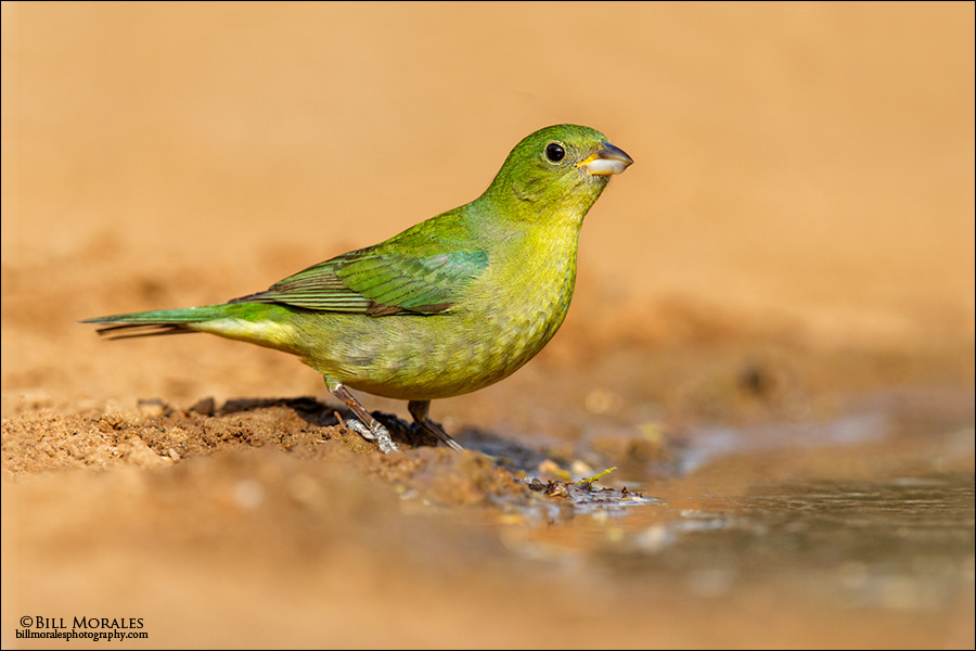Painted-Bunting-03