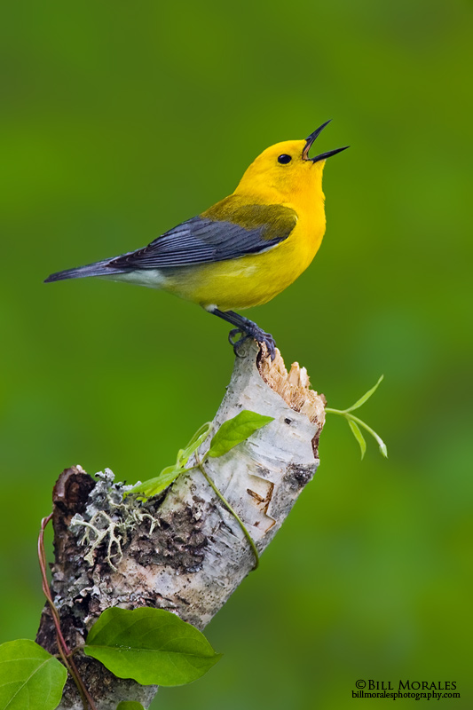 Prothonotary-Warbler-01