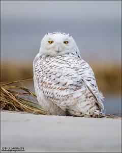 Snowy-Owl-02