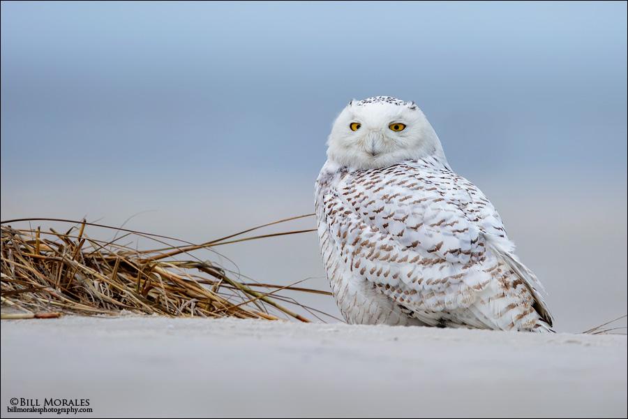 Snowy-Owl-03