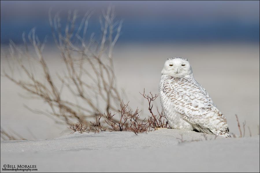 Snowy-Owl-04