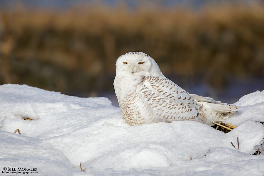 Snowy-Owl-05