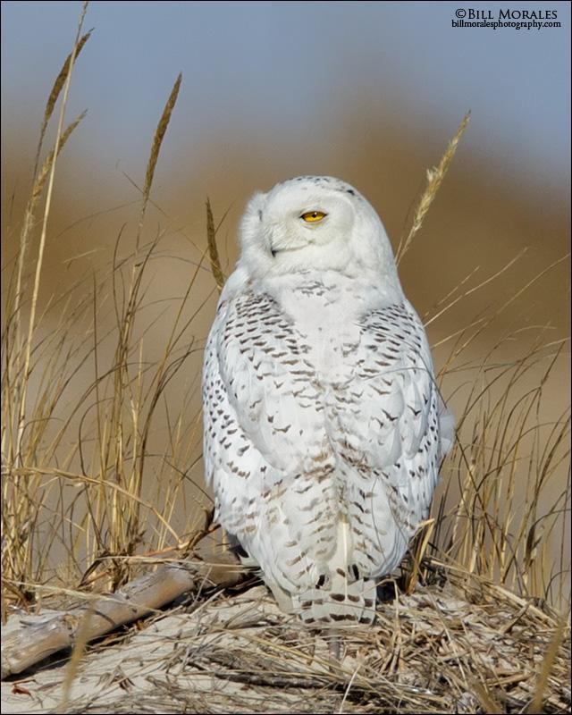Snowy-Owl-06