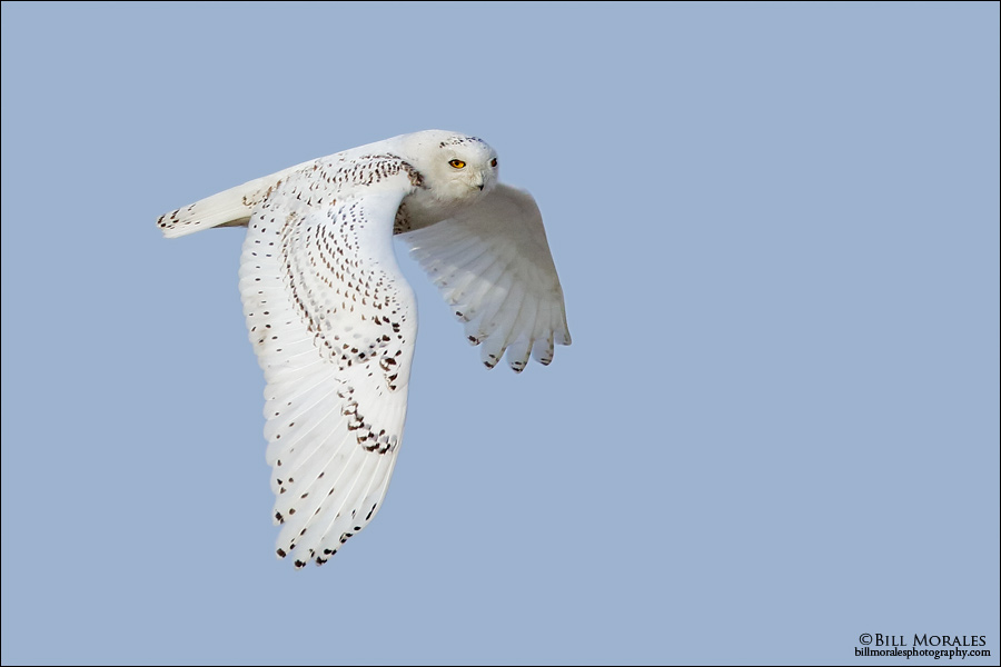 Snowy-Owl-07