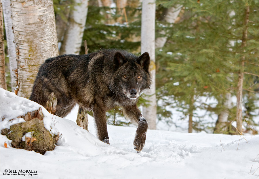 Timber-Wolf-01
