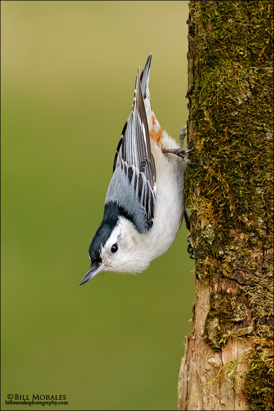 White-breasted-Nuthatch-01