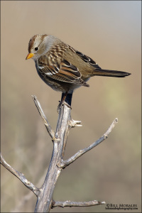White-crowned-Sparrow-01
