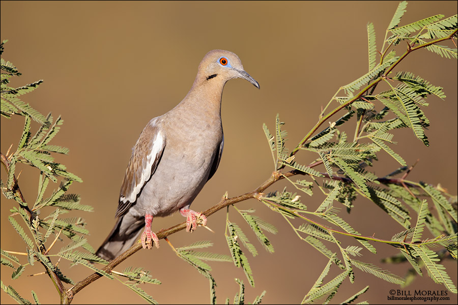 White-winged-Dove-01
