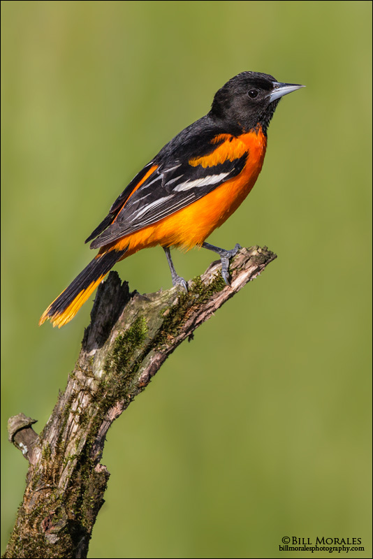 Baltimore-Oriole-01