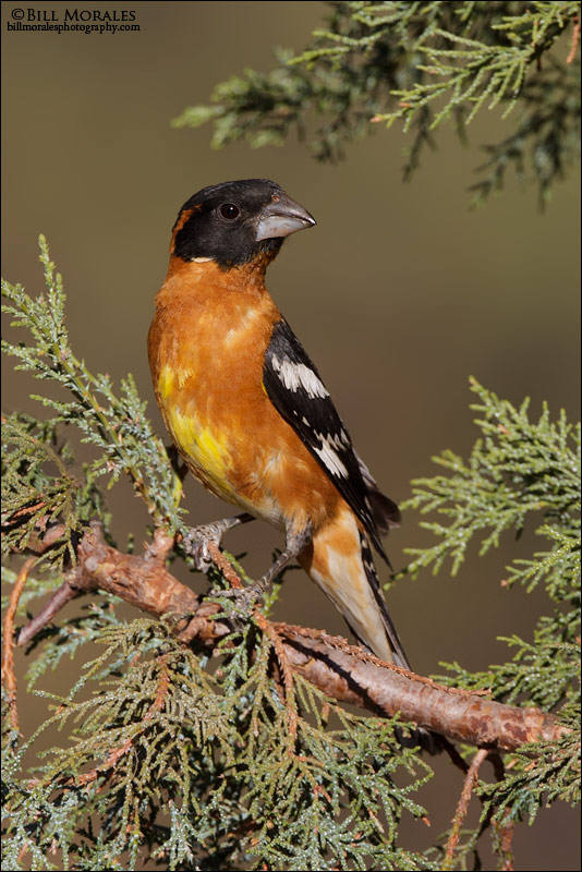 Black-headed-Grosbeak-01