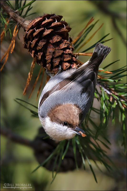 Brown-headed-Nuthatch-01