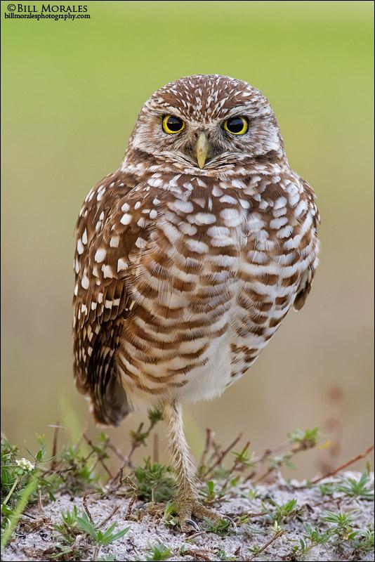 Burrowing-Owl-01
