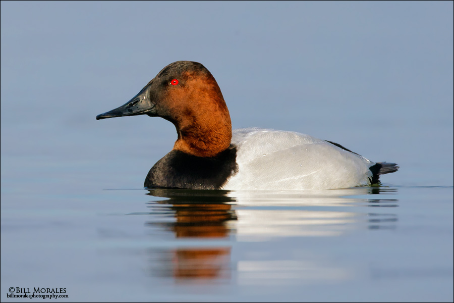 Canvasback-01