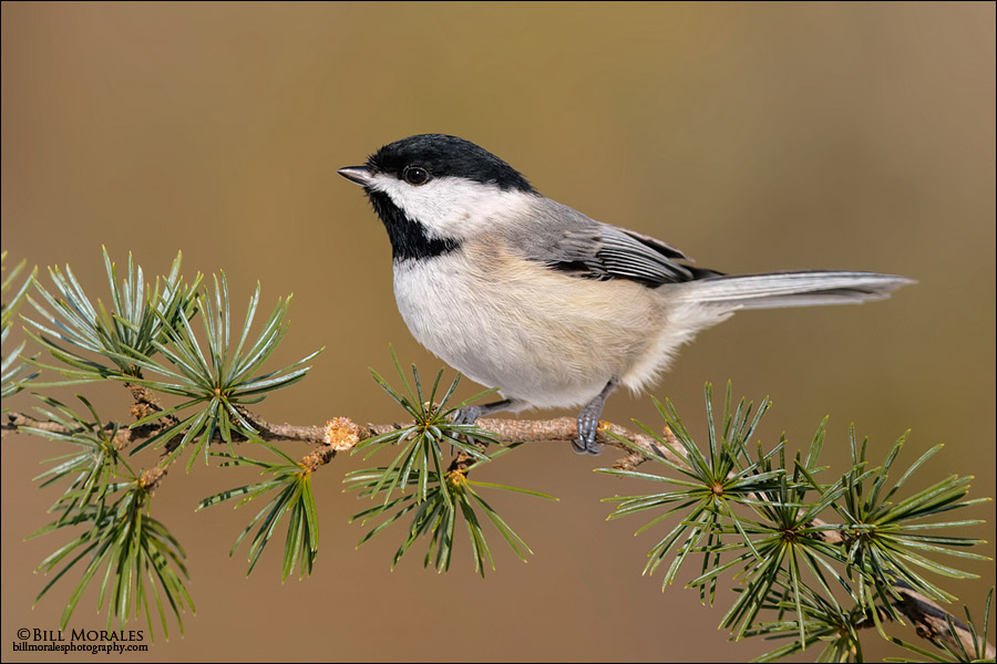 Carolina-Chickadee-02