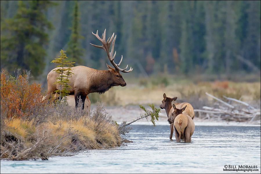 Elk-03