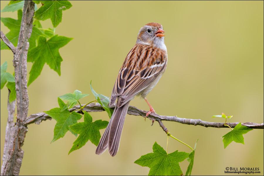 Field-Sparrow-01