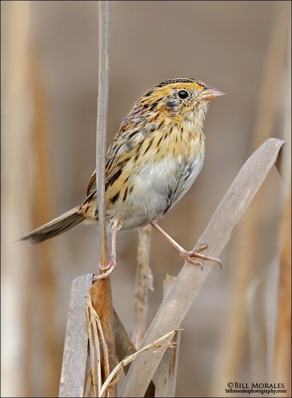 LaConte's-Sparrow-01