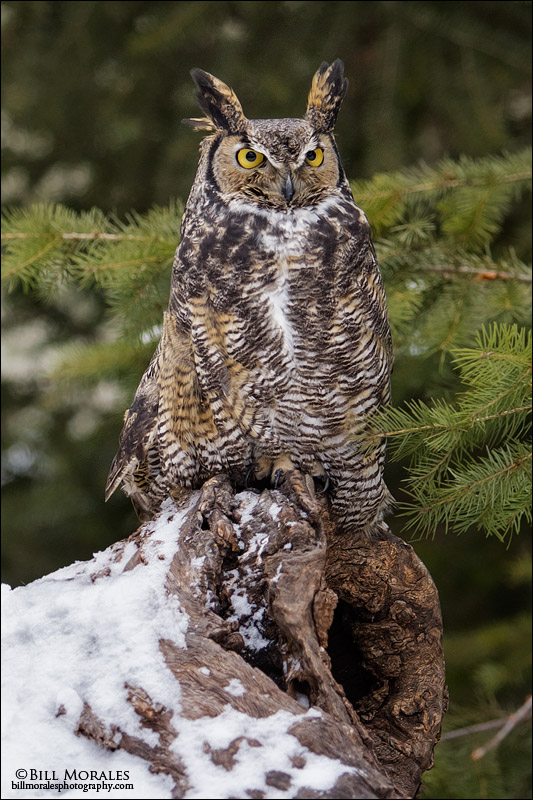 Long-eared-Owl-01