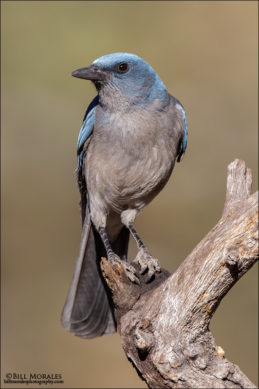 Mexican-Jay-01