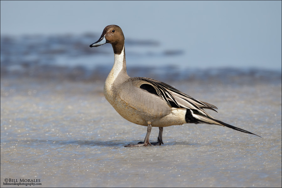 Northern Pintail-01