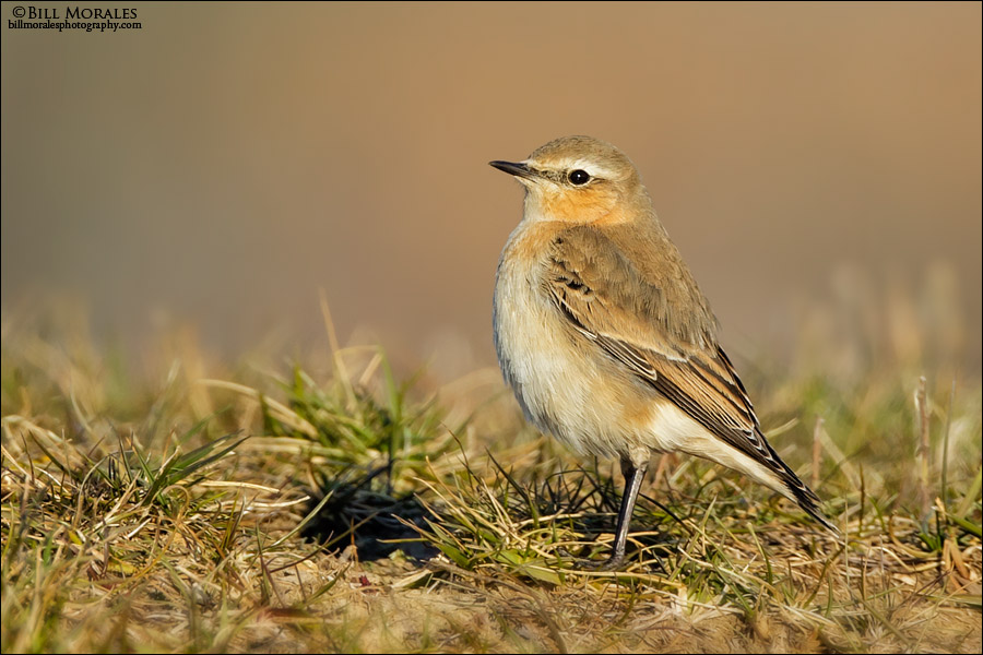 Northern-Wheatear-01