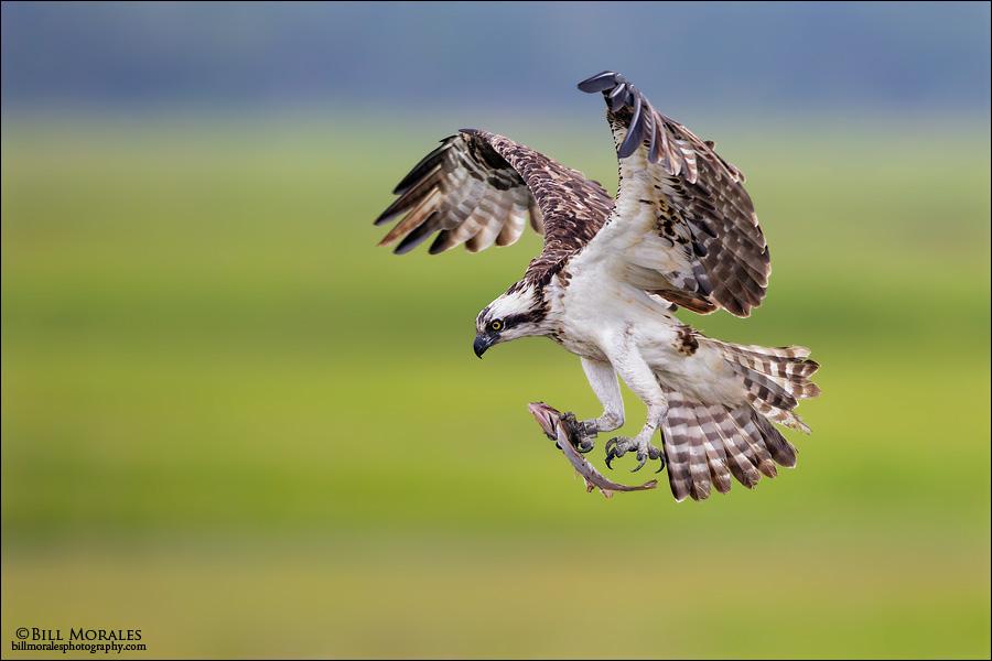 Osprey-02