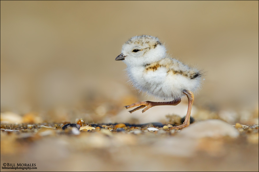 Piping-Plover-02