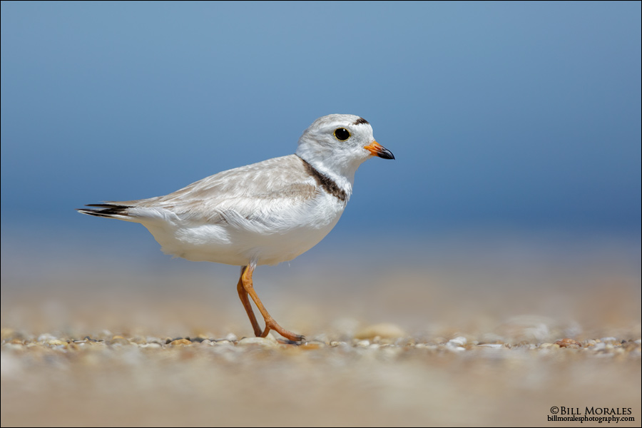 Piping-Plover-03