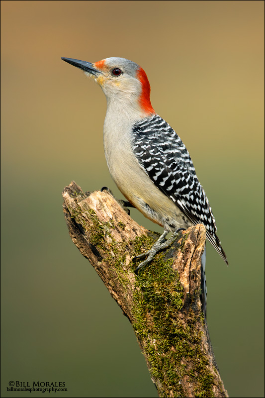 Red-bellied-Woodpecker-01