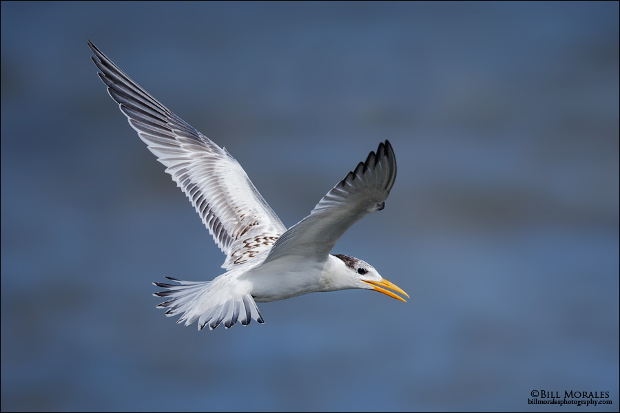 Royal-Tern-01
