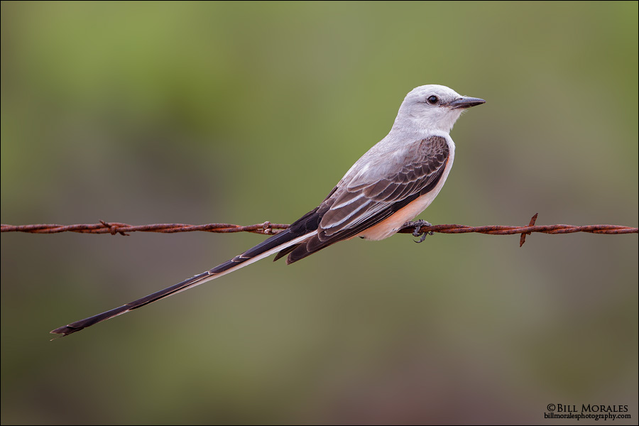 Scissor-tailed-Flycatcher-01