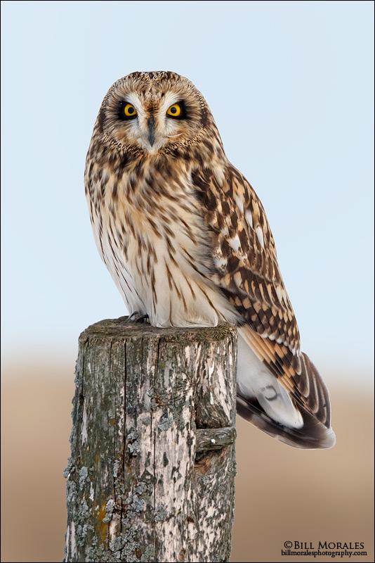 Short-eared-Owl-01
