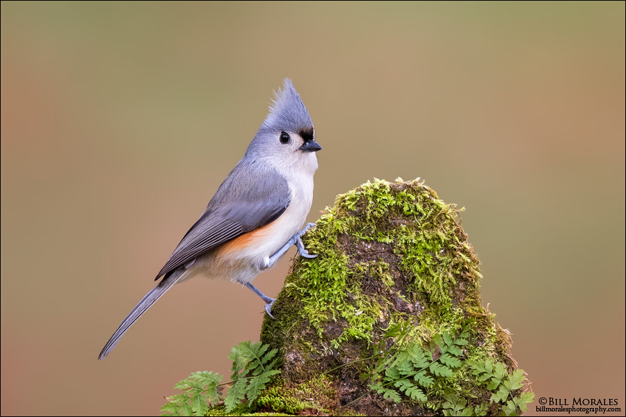 Tufted-Titmouse-01