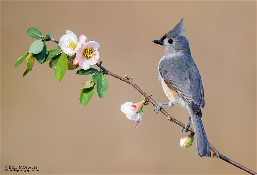 Tufted-Titmouse-02