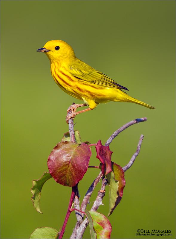 Yellow-Warbler-02