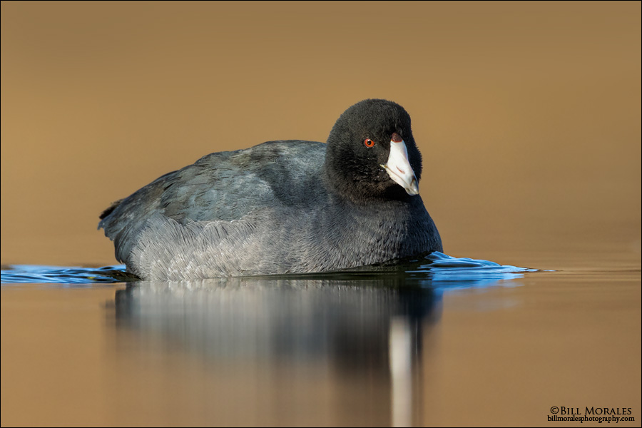American-Coot-01