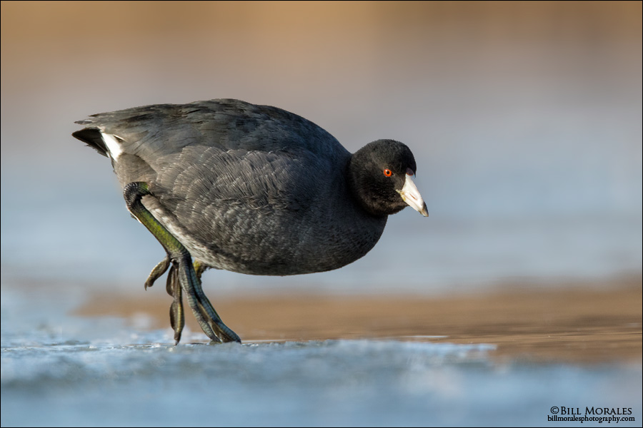 American-Coot-02