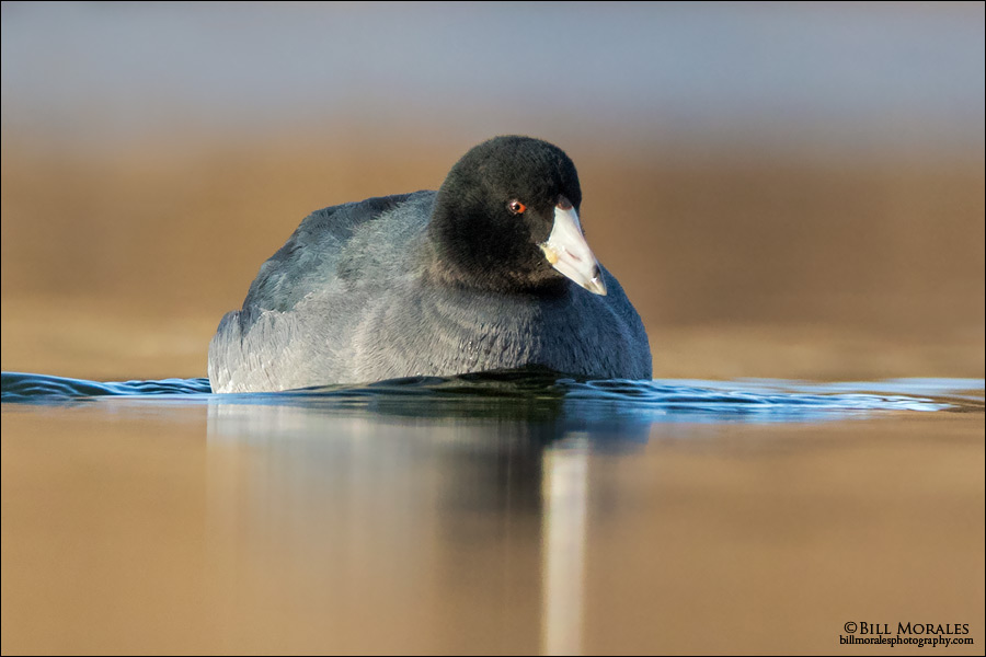 American-Coot-03