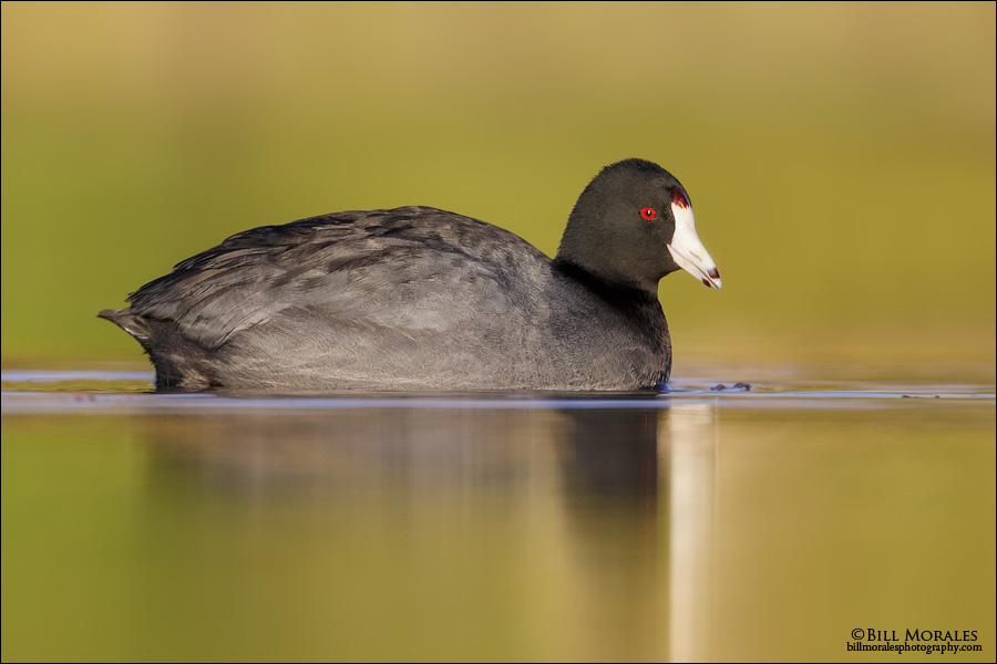 American-Coot-04