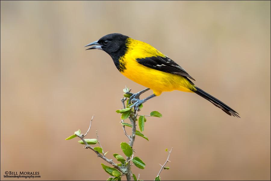 Audubon's-Oriole-01